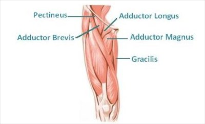 Adductor muscles strain, Upper leg muscular injuries and ...